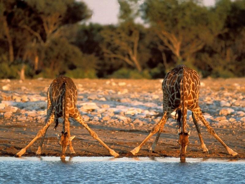 Giraffer463-934x
