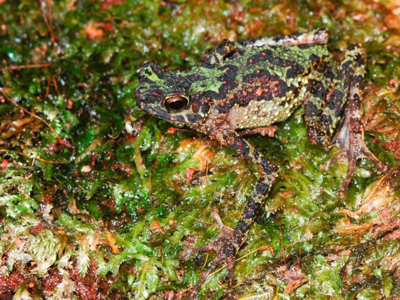 Grodorrainbow-frog-found_37464_990x742
