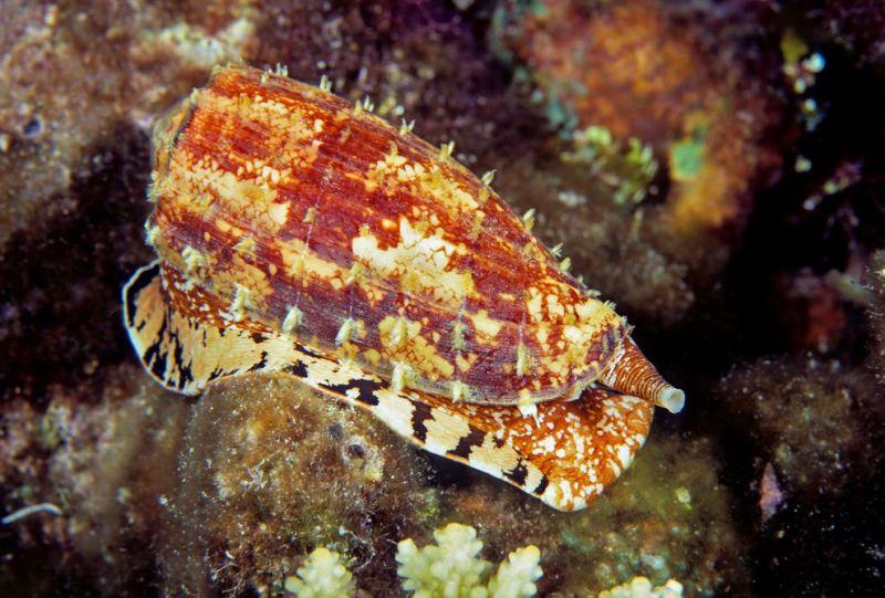 Fisk insulincone-snail-venom-01_87877_990x742