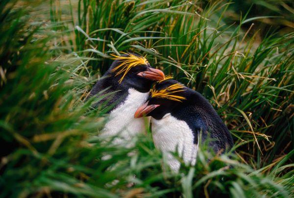 Kramnatgeo-pictures-penguins-2015-04_87928_600x450