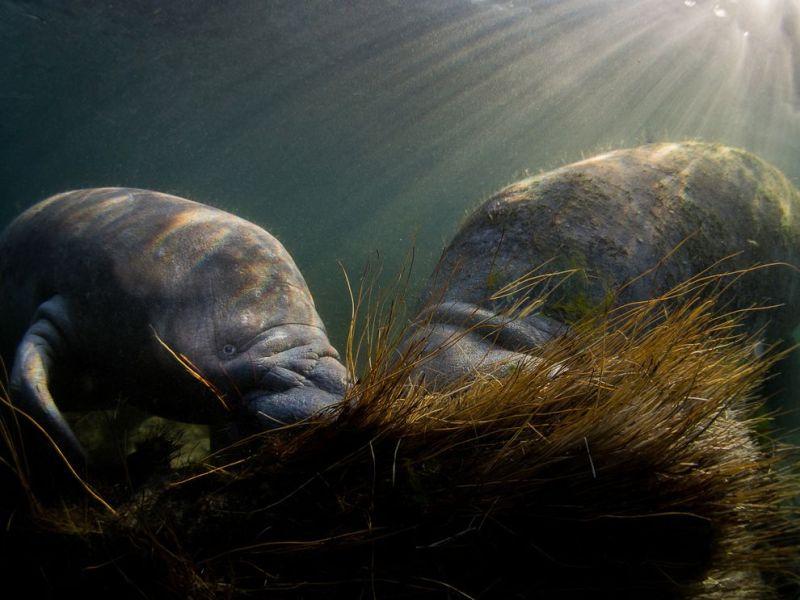 Sjökormanatee-crystal-river-underwater_88361_990x742