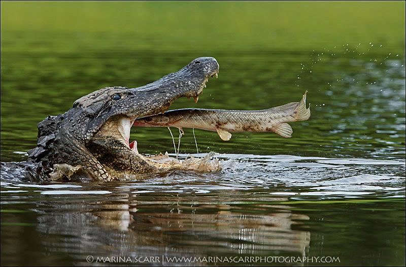 Alligator10930160_10153181103814700_2880692371382538939_n