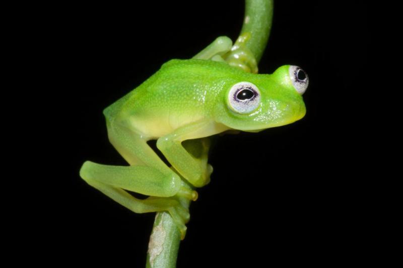01glassfrog.adapt.1190.1 (1)