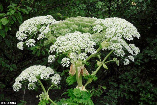 29EC79C800000578-3137347-Giant_hogweed_tends_to_grow_alongside_rivers_and_canals_meaning_-a-29_1435143466504