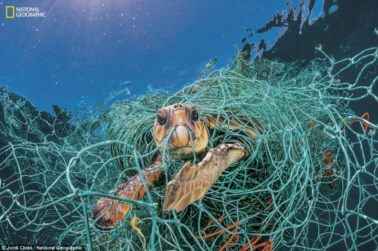 4C49C7D900000578-573Mail online3223-Trapped_in_plastic_An_old_plastic_fishing_net_snares_a_loggerhea-a-18_1526419508009