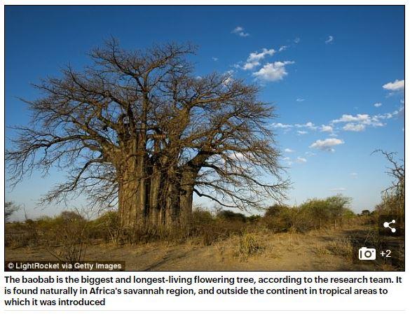 Baobabträ